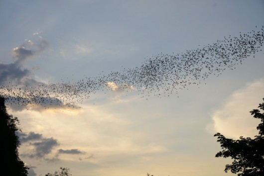 Millions of bats leaving the cave at sunset in Battambang